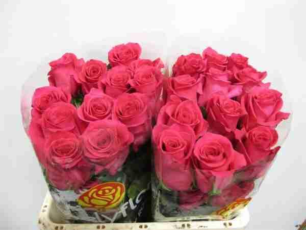 Rosa Nacional Fucsia