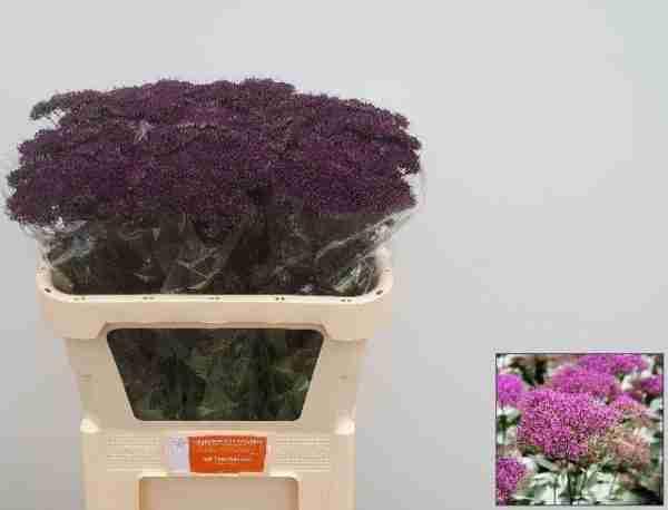 Trachelium Morado