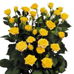Rosa Ramificada Yellow Babe