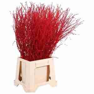 Bétula Roja