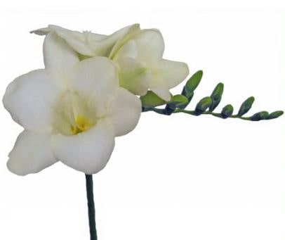 Freesia White River