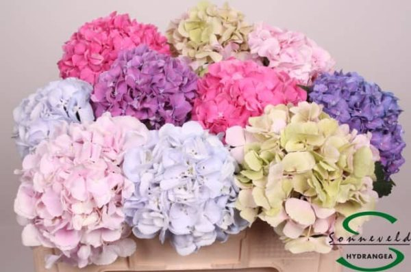 Hortensia Mix