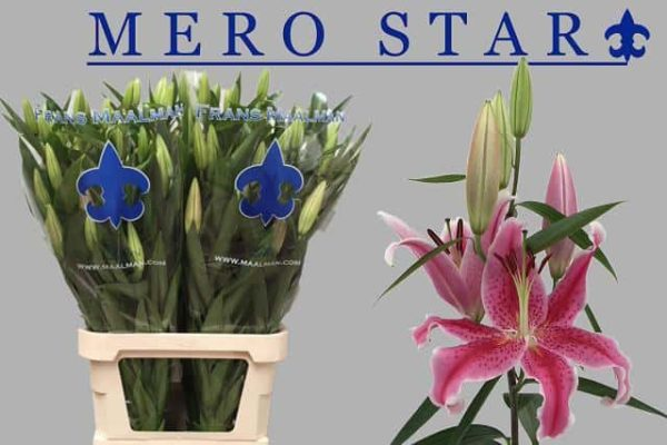 Lilium Or. Mero Star