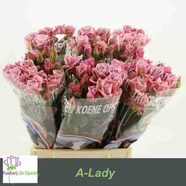 Rosa ramificada A-Lady