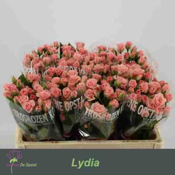 Rosa Ramificada Lydia
