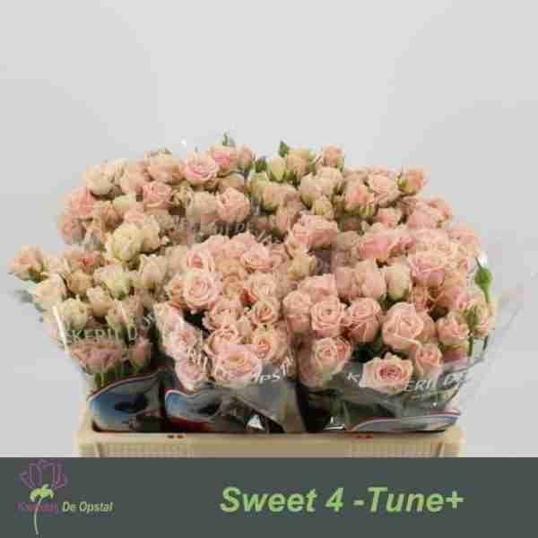 Rosa ramificada Sweet 4 Tune