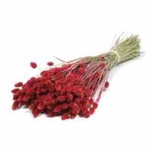 Phalaris rojo