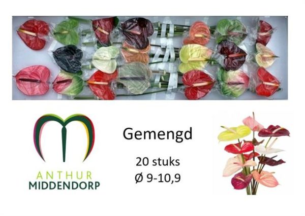 Anthurium Mix x20