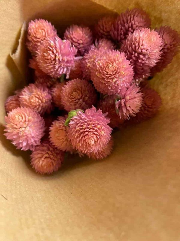 Gomphrena rosa