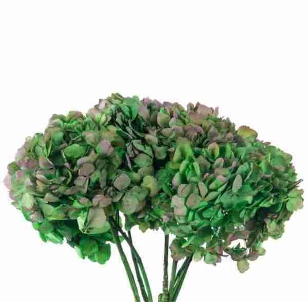 Hortensia Bicolor Verde/Rosa