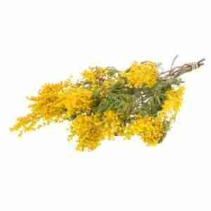 Mimosa Preservada