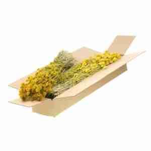 Phalaris amarillo