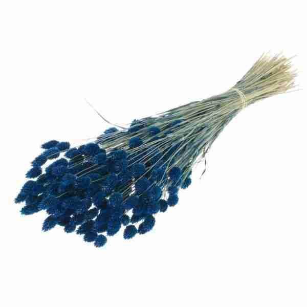 Phalaris azul oscuro