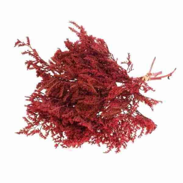 Tatarica roja