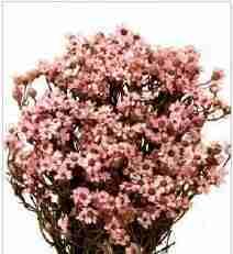 Oxodia rosa