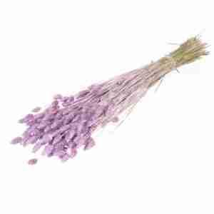 Phalaris lila