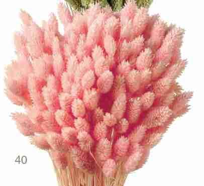 Phalaris rosa claro